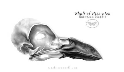 Magpie skull by Equal-Night