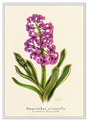Common Hyacinth by Equal-Night