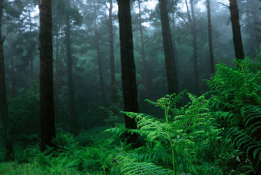 Forest ferns by chenick