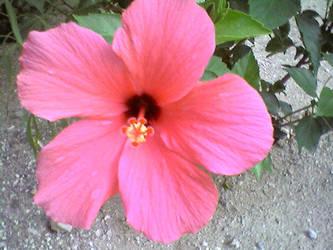 Hibiscus by Demona909