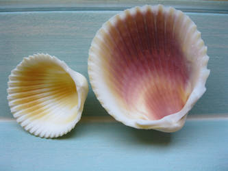 cockle shell stock by rustymermaid-stock