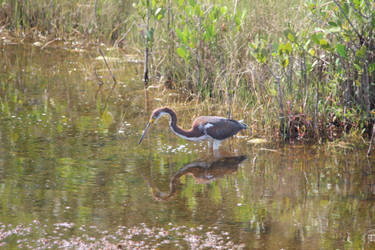 Tri-Colored Heron by ringwraith10