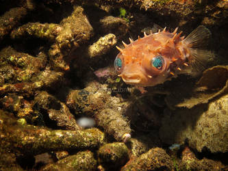 puffer fish by fhayz