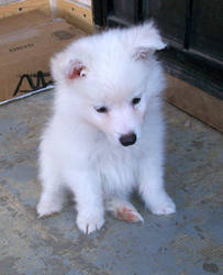 American Eskimo Puppy 2 by Seveer-rM