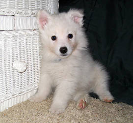 American Eskimo Puppy 3 by Seveer-rM