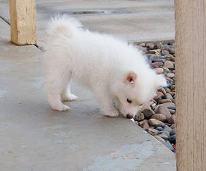 American Eskimo Puppy 5 by Seveer-rM
