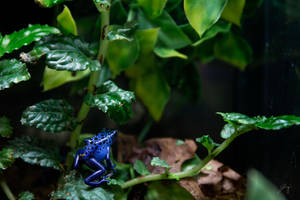 Blue Poison Dart Frog by Jorgipie