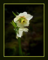 Helleborus by Inianna
