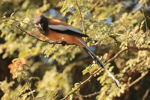Rufous Treepie by Thoughtful-Hmm