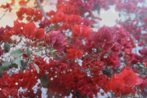 Red Flowers at the Larco Museum 3 by clausch99