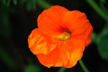 orange by saliyalein