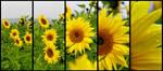 sonnenblumen by saliyalein