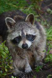 cute raccoon by deianira-fraser