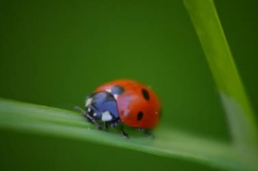 another ladybug by deianira-fraser