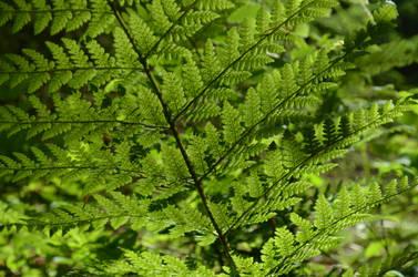 fern with spores underneath by deianira-fraser