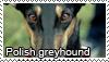 Polish greyhound stamp by Tollerka
