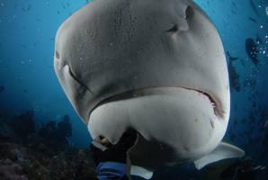 Tiger shark up close by ITacosharkI