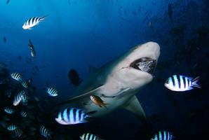 Bull shark feeding by ITacosharkI
