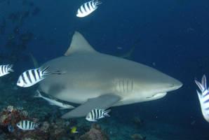 Rusty the Bull Shark by ITacosharkI