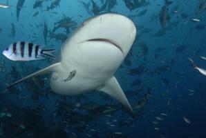 Grrr... I'm A Shark by ITacosharkI