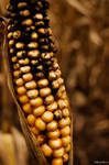 corn 2 by darkcrystal1209