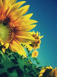 i love sunflower by cata-angel
