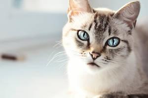 Thai cat by so-ingenious