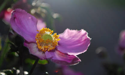 Herbst Anemone 3 by jojosangm