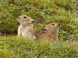 are they called Gophers? by kunsang