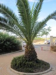 Palm tree in Ashdod by jlpicard1701e