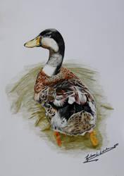 Duck (Anas platyrhynchos) by GuillermoLabrador