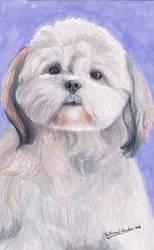 Shih Tzu Dog (Canis Lupus Familiaris) by GuillermoLabrador