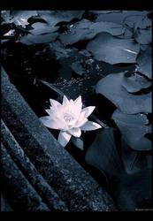 lotus moon by libelle