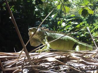 Iguana by evangelian007