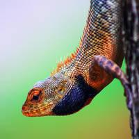 Iguana 02 by josgoh