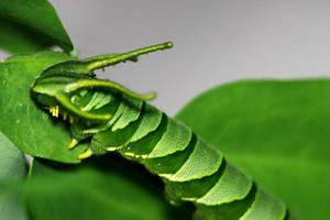 Caterpillar 10 by josgoh