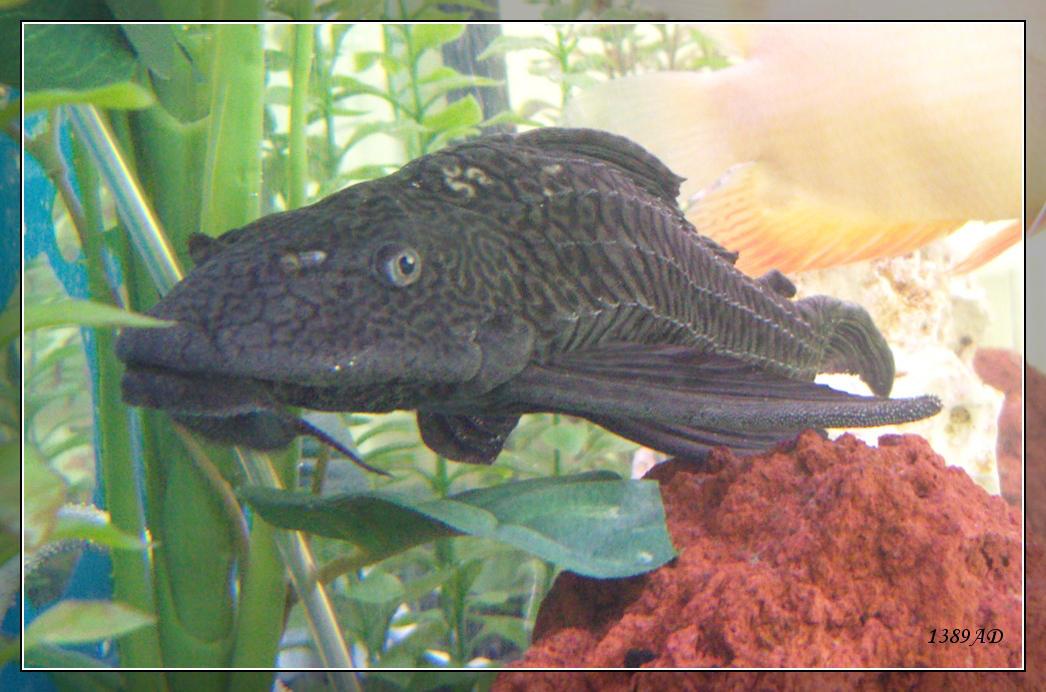 Aquarium bottom feeder