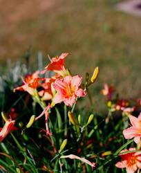 Lawn Flowers by NikonChrome