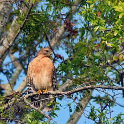 Hawk by NikonChrome