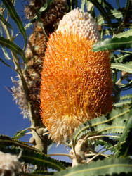 Native to Australia-Banksia by wyt-tigress