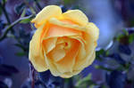 Yellow Rose by tonnyfroyen