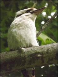 Kookaburra 02 by todo-mahem