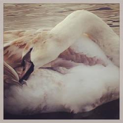 Soft Swan by todo-mahem