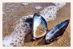 Mussel Shell by woops