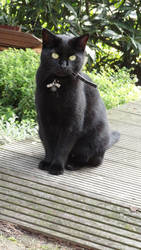 Tinka - Sitting Black Female Cat by Horselover60-Stock