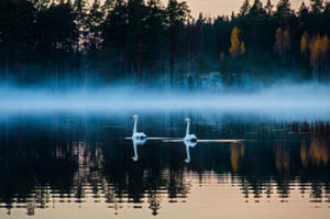 Two swans II by mabuli
