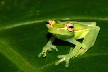 Ecuador: Palmar treefrog by aileen