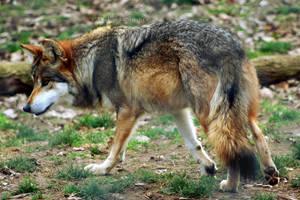 Mexican Gray Wolf 012 by makaylasophia