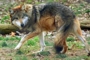 Mexican Gray Wolf 013 by makaylasophia