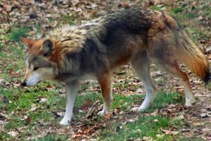 Mexican Gray Wolf 023 by makaylasophia